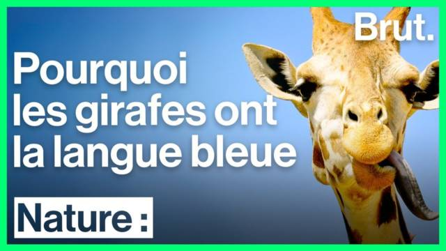 animaux-langue-bleue