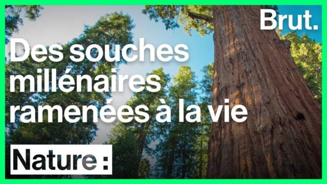arbres-souches-millenaires-vie
