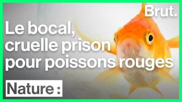 conditions-de-vie-poisson-rouge-inadapte
