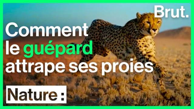 guepard-sauvage-chasse-proies