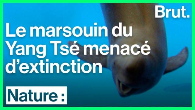 marsouin-yang-tse-extinction
