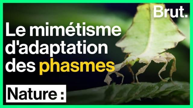 mimetismes-phasmes