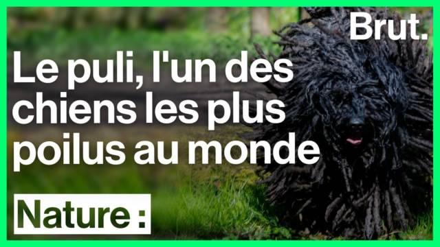puli-chien-plus-poilu-du-monde