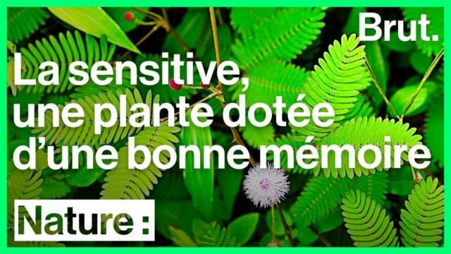 sensitive-plante-intelligente