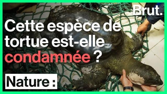 tortue-extinction-espece-menacee